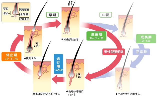 女性のヘアサイクル(毛周期)